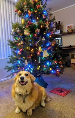 A corgi sitting happily in front of a Christmas tree
